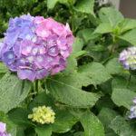 「第一回 紫陽花はどこへ消えた?」文学賞開催のお知らせ